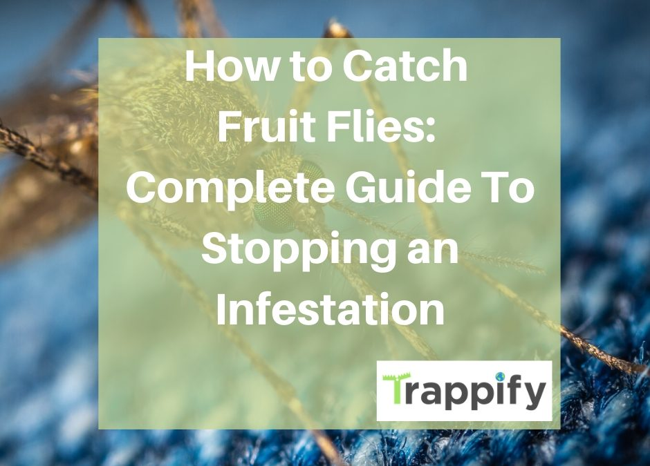 How-to-Catch-Fruit-Flies