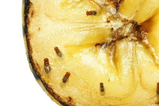 How to Catch Fruit Flies: Complete Guide To Stopping an Infestation