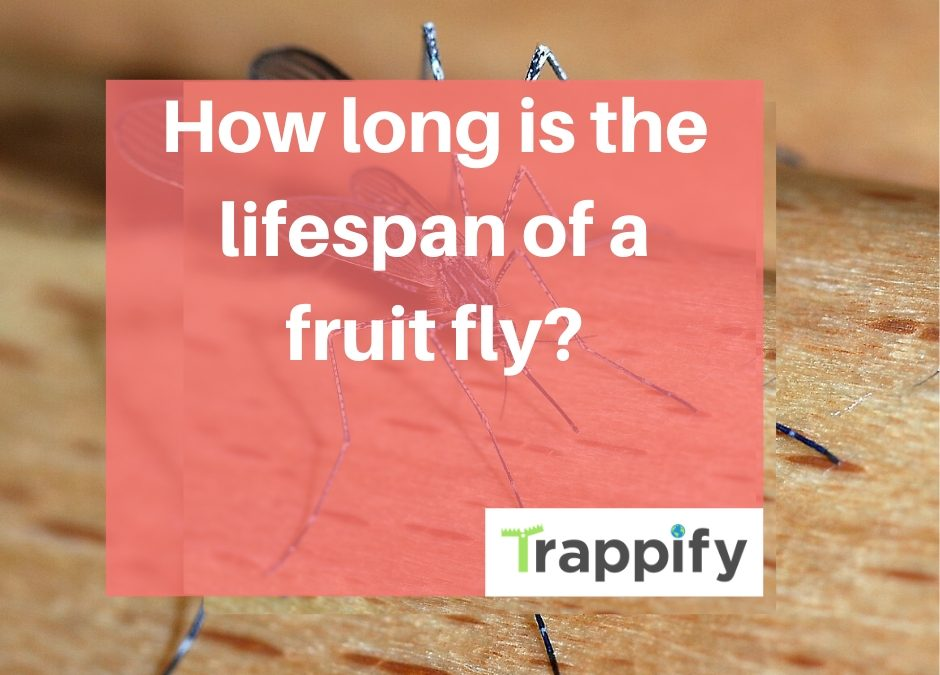 The-fruit-fly-lifecycle