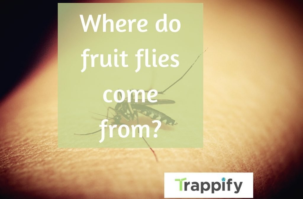 Where-do-fruit-flies-come-from