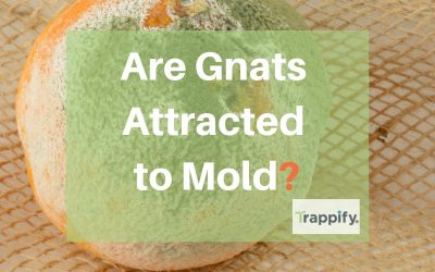 Are Gnats Attracted to Mold?  Getting Rid of Gnats in Your Home
