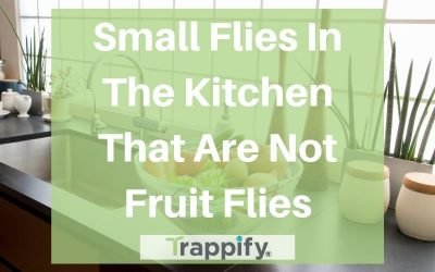 Small Flies in the Kitchen that are Not Fruit Flies