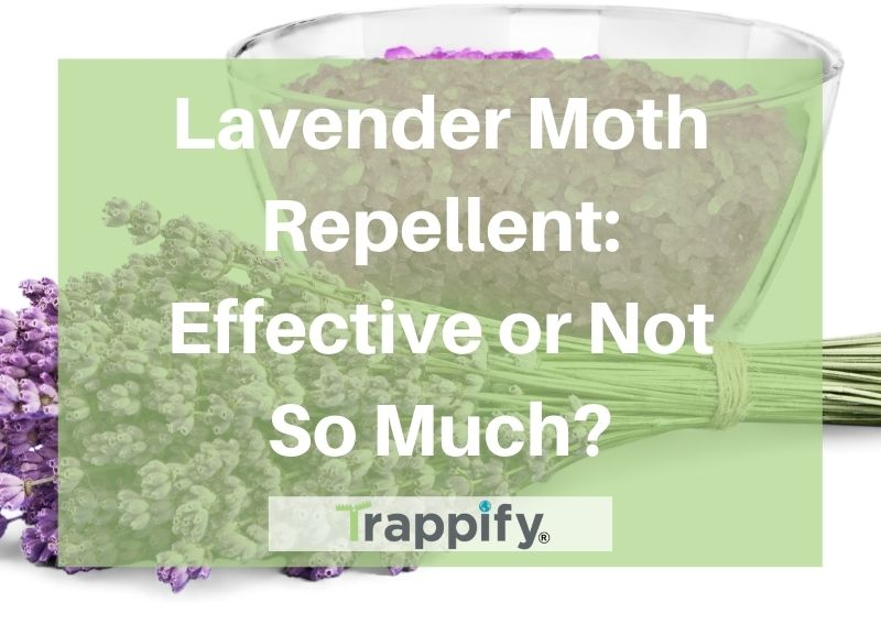 Lavender Moth Repellent: Effective or Not So Much?